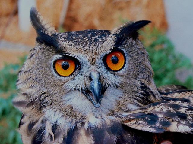 owl staring.